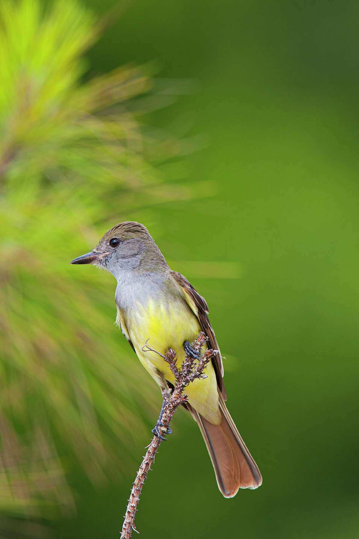 The quick whistled notes of the great crested flycatcher ring out from the forest canopy this spring.