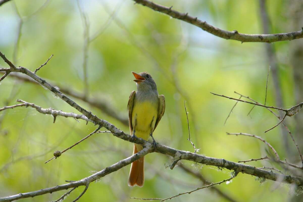 Great crested flycatchers breed in our area but winter as far south as Colombia and Venezuela.