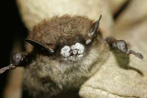FILE - This Oct. 2008, file photo, provided by the New York Department of Environmental Conservation shows a brown bat with white nose fungus in New York. Federal officials are granting $1.4 million to scientists investigating deadly white-nose syndrome in bats. The fungal infection has killed more than 5.5 million bats in eastern North America since it was first detected in upstate New York in 2006. (AP Photo/New York Department of Environmental Conservation, Ryan von Linden, File)