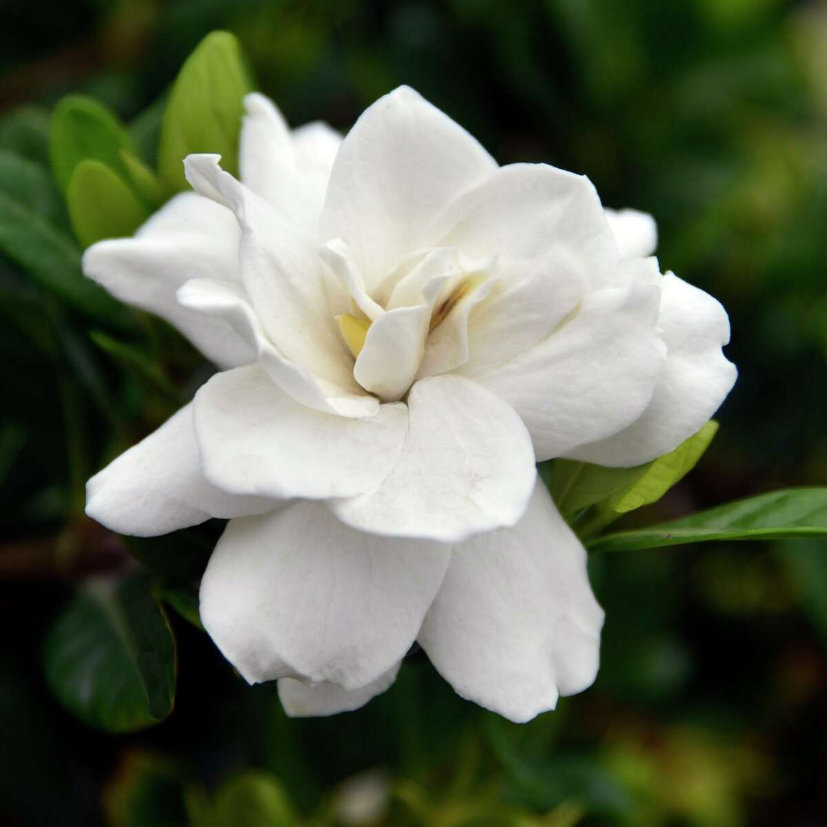 Gardenias don't like South Texas' alkaline soils, but it isn't that difficult to prepare a planting bed for one or two gardenia bushes.
