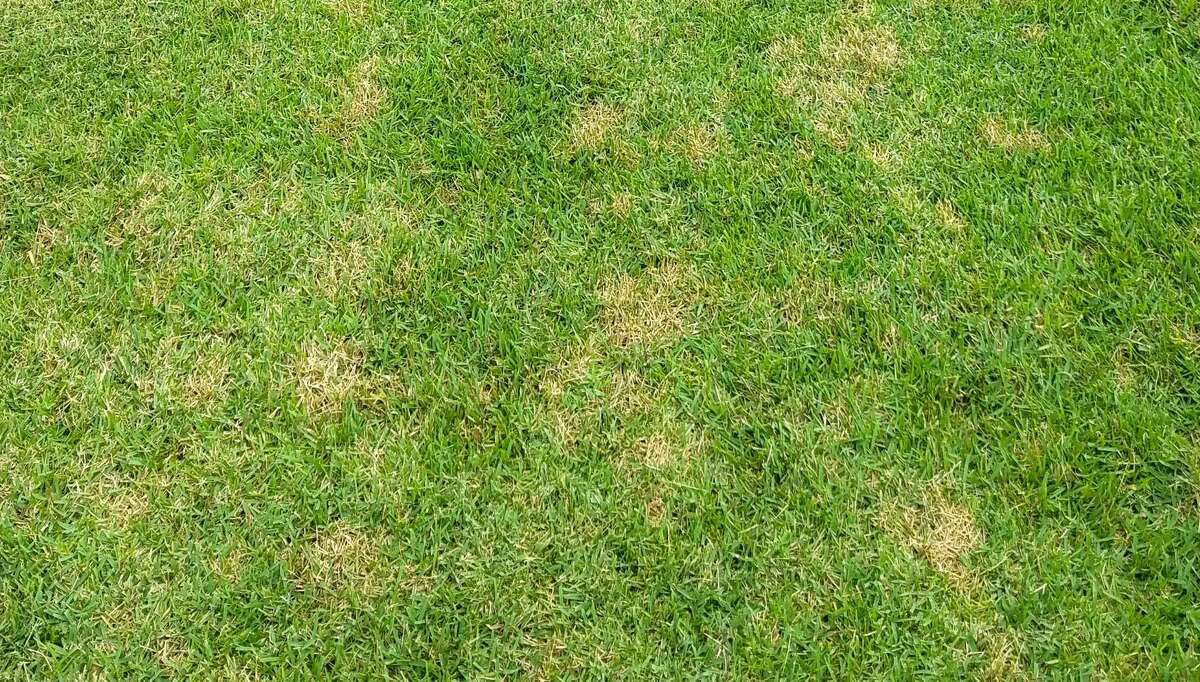 This is large patch, also called brown patch. You may recognize it from St. Augustine lawns, but it is a problem in zoysias as well.