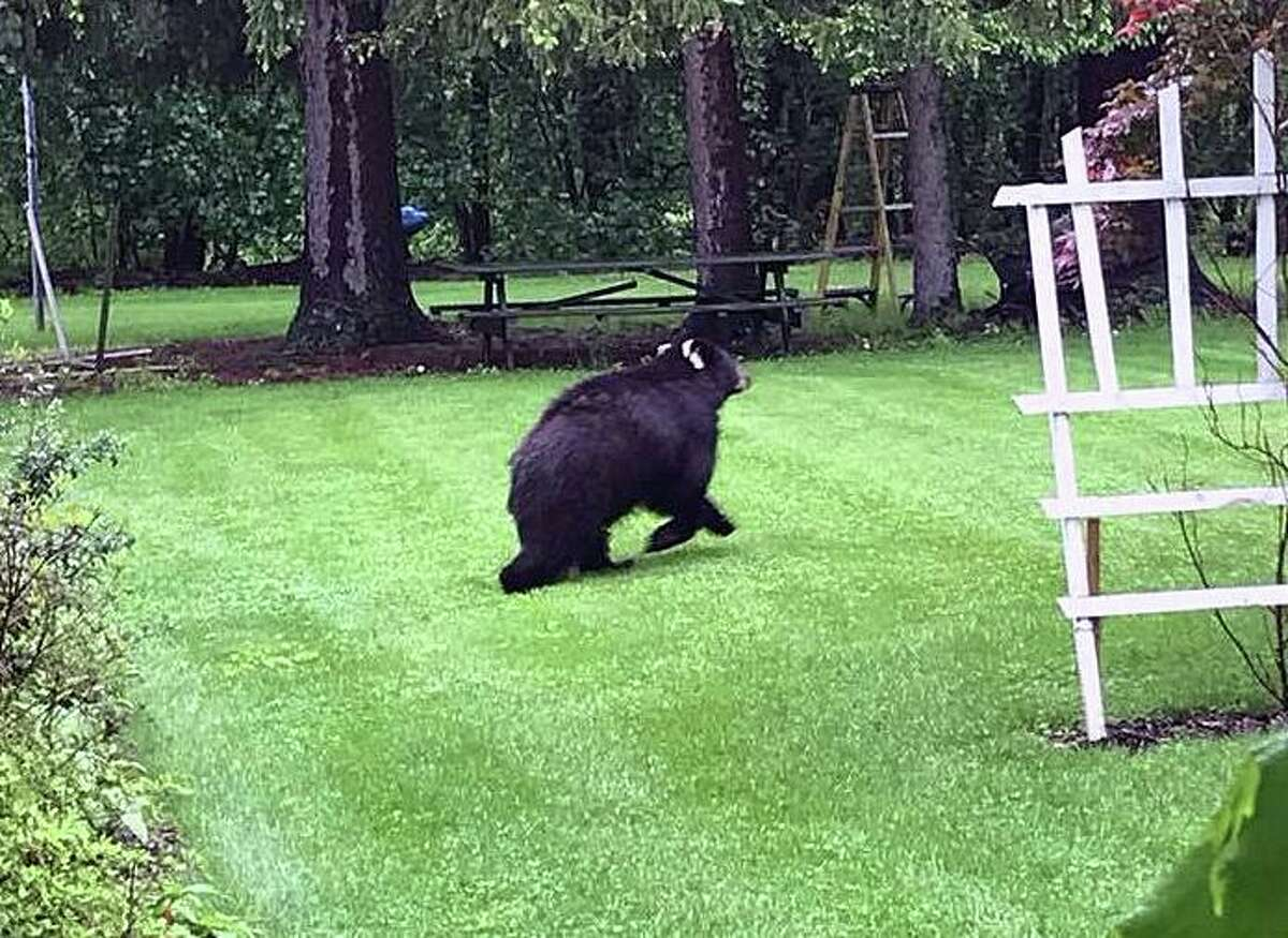 A file photo of a bear seen in Bethel, Conn., in 2018. In Trumbull, police during the month of May 2021 have reported several residents calling in bear sightings across town.