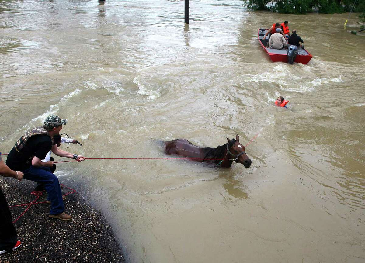 Devan Horn, who used to work at Cypress Trails, works to bring horse Boomer across the flooded field and over a fence to safety on Cypresswood Drive along Cypress Creek, Monday, April 18, 2016, in Houston. Boomer bucked Horn off at one point and the two began flowing swiftly down into the creek before a rope was thrown to the pair and a boat came to their aid. Horn was picked up by the boat, and Boomer made it safely out of the water on the other side of the bridge over Cypress Creek. ( Mark Mulligan / Houston Chronicle )