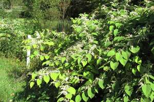 Japanese knotweed is among the worst intruders. It thrives on roadsides and sports off-white flowers in autumn. Give it an inch and within a few years itís taken a mile.