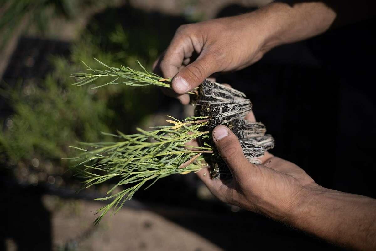 Ferrara selects milkweed. Western monarchs overwintering in coastal California dropped under 2,000 this year.