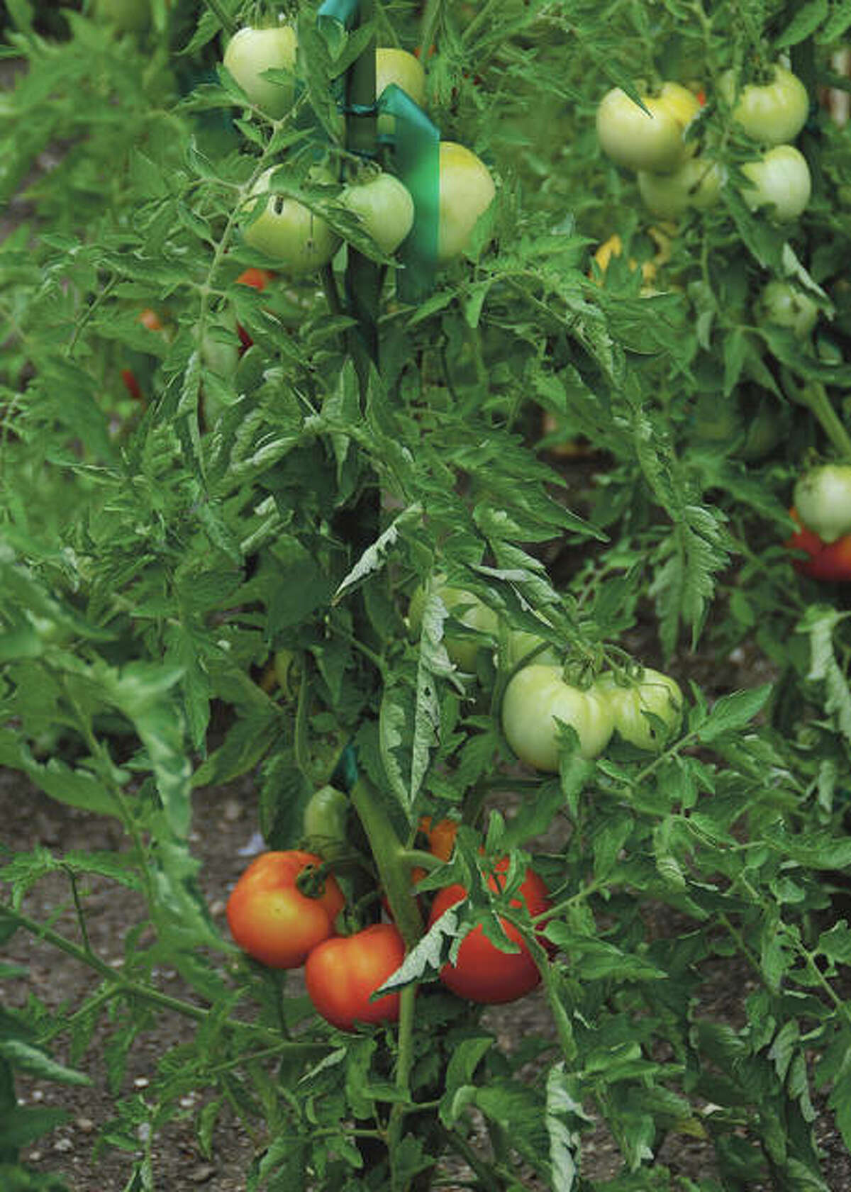 Tomatoes contain lycopene, a powerful antioxidant with many health benefits, including lowering the risk of certain types of cancer.