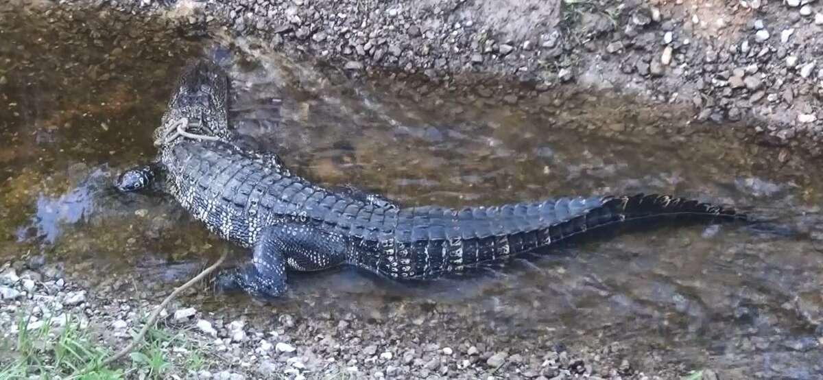 The alligator in Splendora.