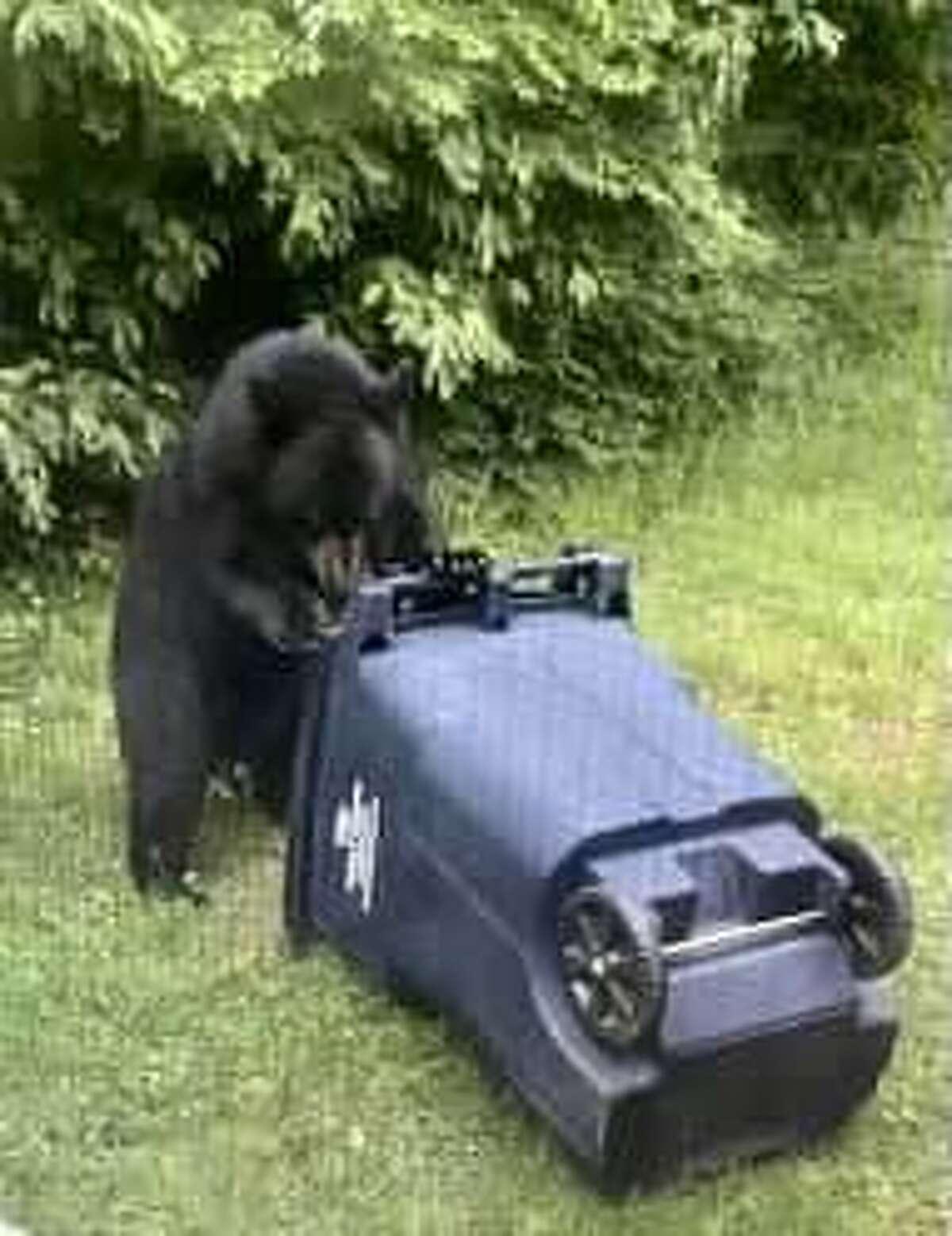 Bear tries to open 32-gallon trash bin