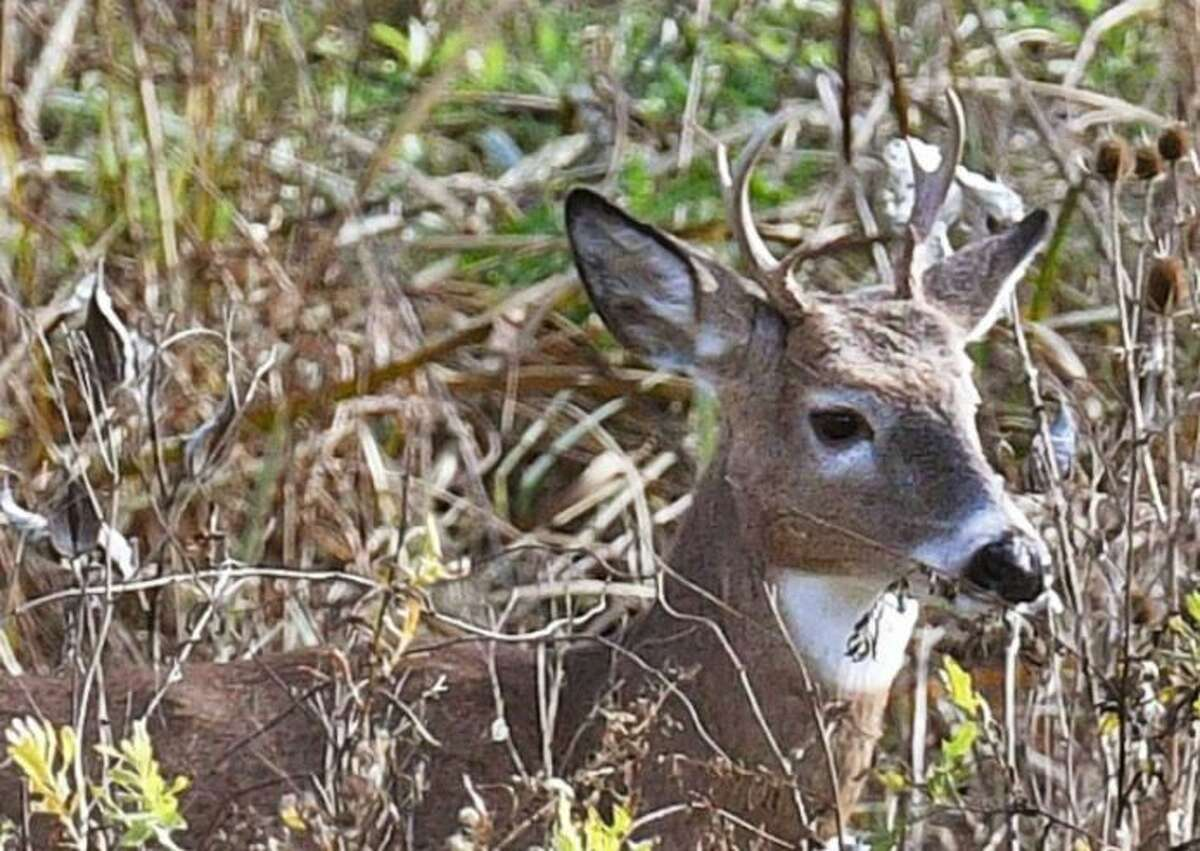 A case of chronic wasting disease has turned up in Pennsylvania and has experts worried that it could spread to healthy deer like the one pictured here.