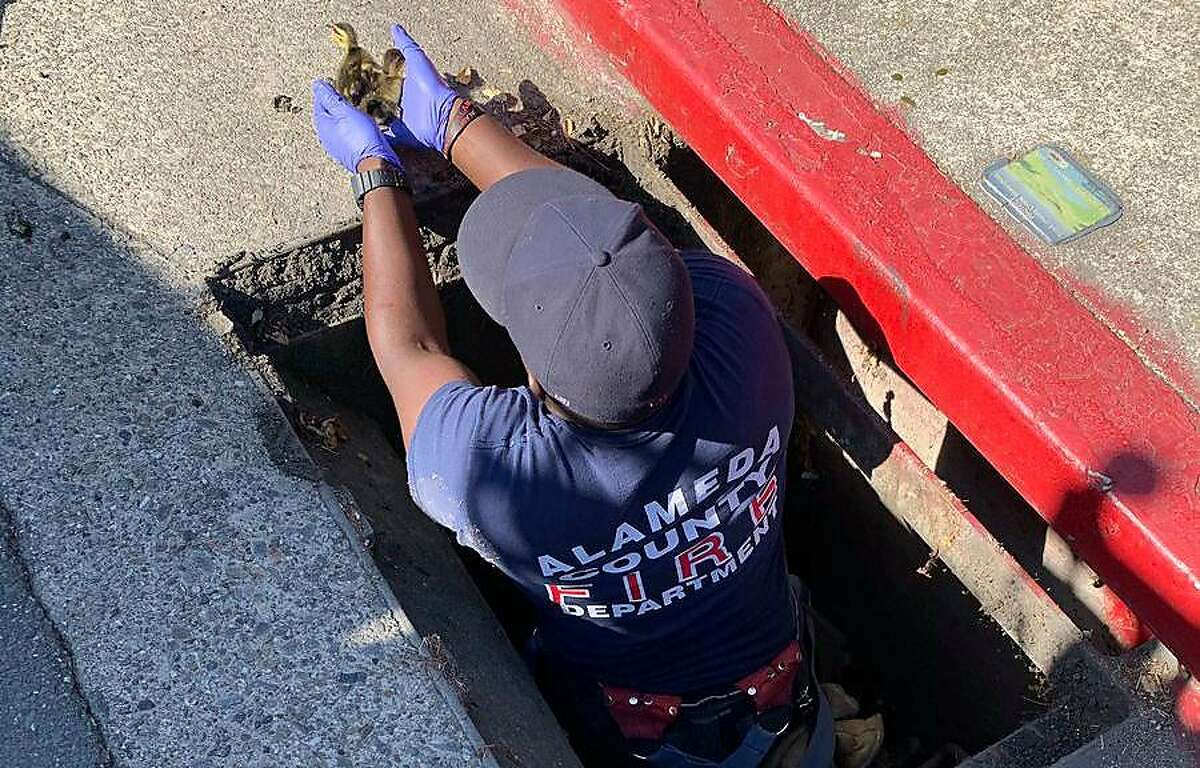 Alameda County Fire Department personnel rescue ducks caught in a storm drain in Castro Valley on Monday, May 31, 2021.