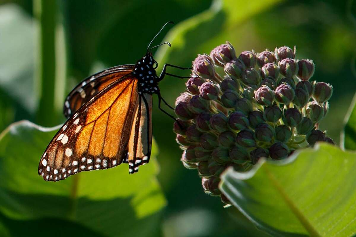 Farming and other human development have eradicated state-size swaths of the Western monarch butterfly's native milkweed habitat.