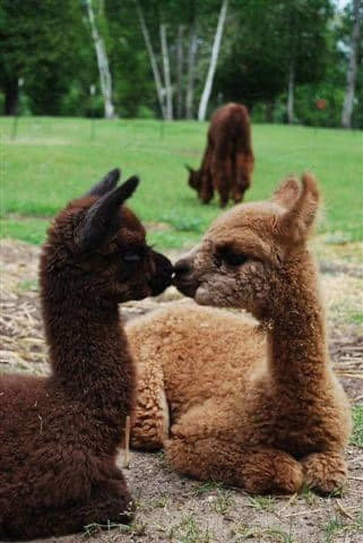 Visitors to the Crystal Lake Alpaca Farm can see a working farm in action, visit the Crystal Lake Alpaca Boutique and check out the Animal Park where they can pet and feed animals. (Courtesy Photo)