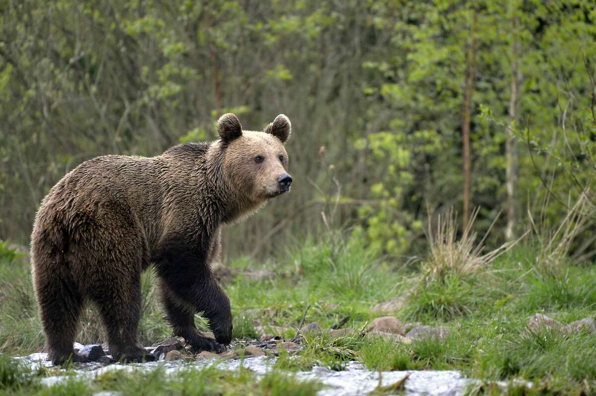 A video of 17-year-old Hailey Morinico has gone viral after the teenager raced to protect her dogs by fending off a mother bear in her Bradbury backyard, a small community located near Los Angeles. This is a stock image of a bear.