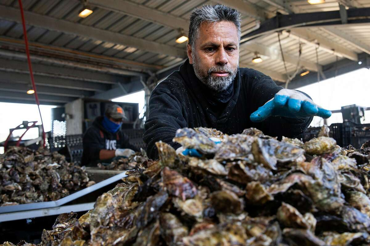 Raul Valenzuela bags oysters collected in Tomales Bay, near Hog Island Oyster Company in Marshall.