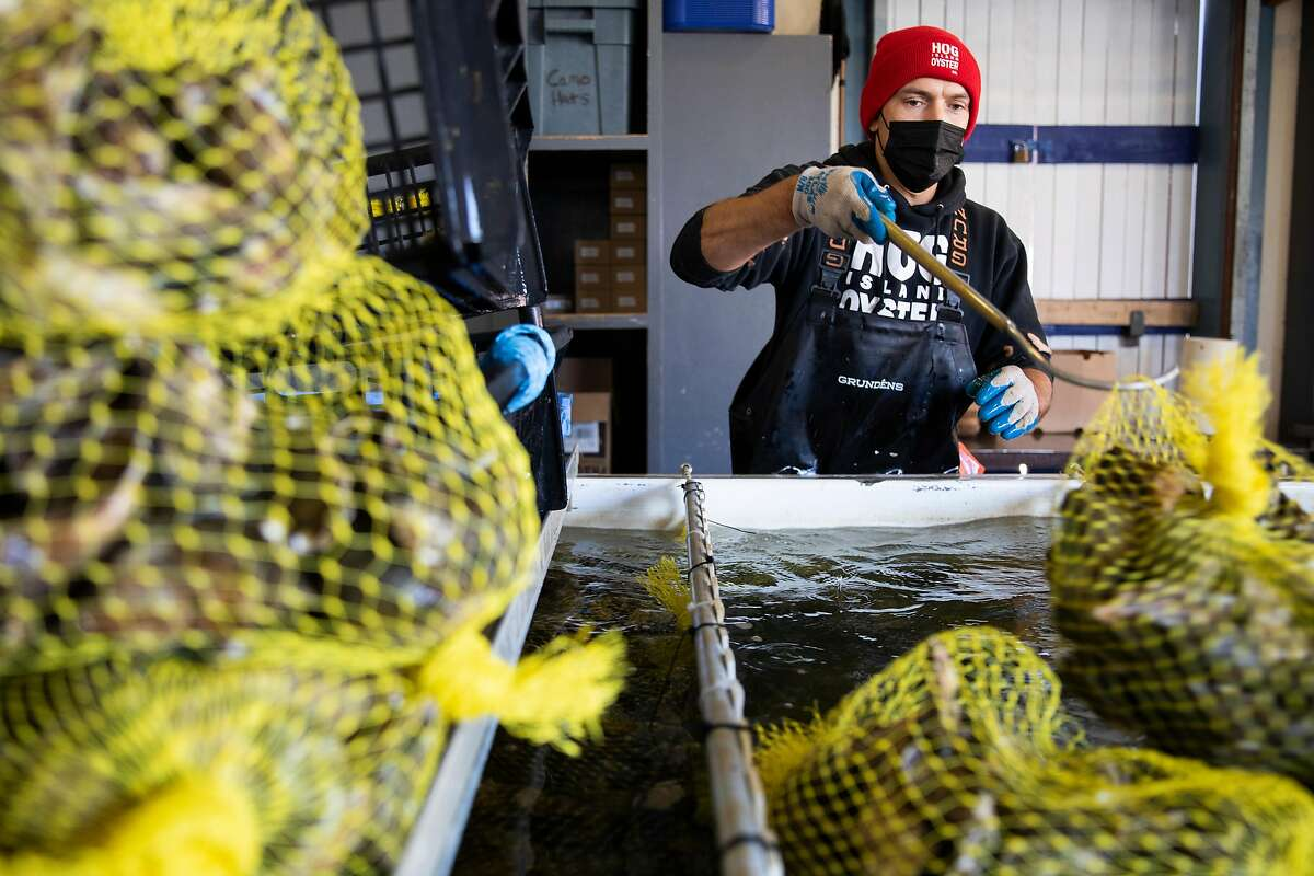 Franz Heilmeier bags up fresh oysters from holding tanks at Hog Island, which has reached a $1.1 million easement with the Marin Agricultural Land Trust.
