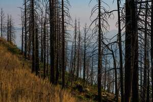 A stand of dead trees burned in a recent forest fire along Highway 89 in Lake Tahoe. Conditions are so dry in Tahoe that fire officials have banned some barbecues in an effort to reduce risk of wildfire.