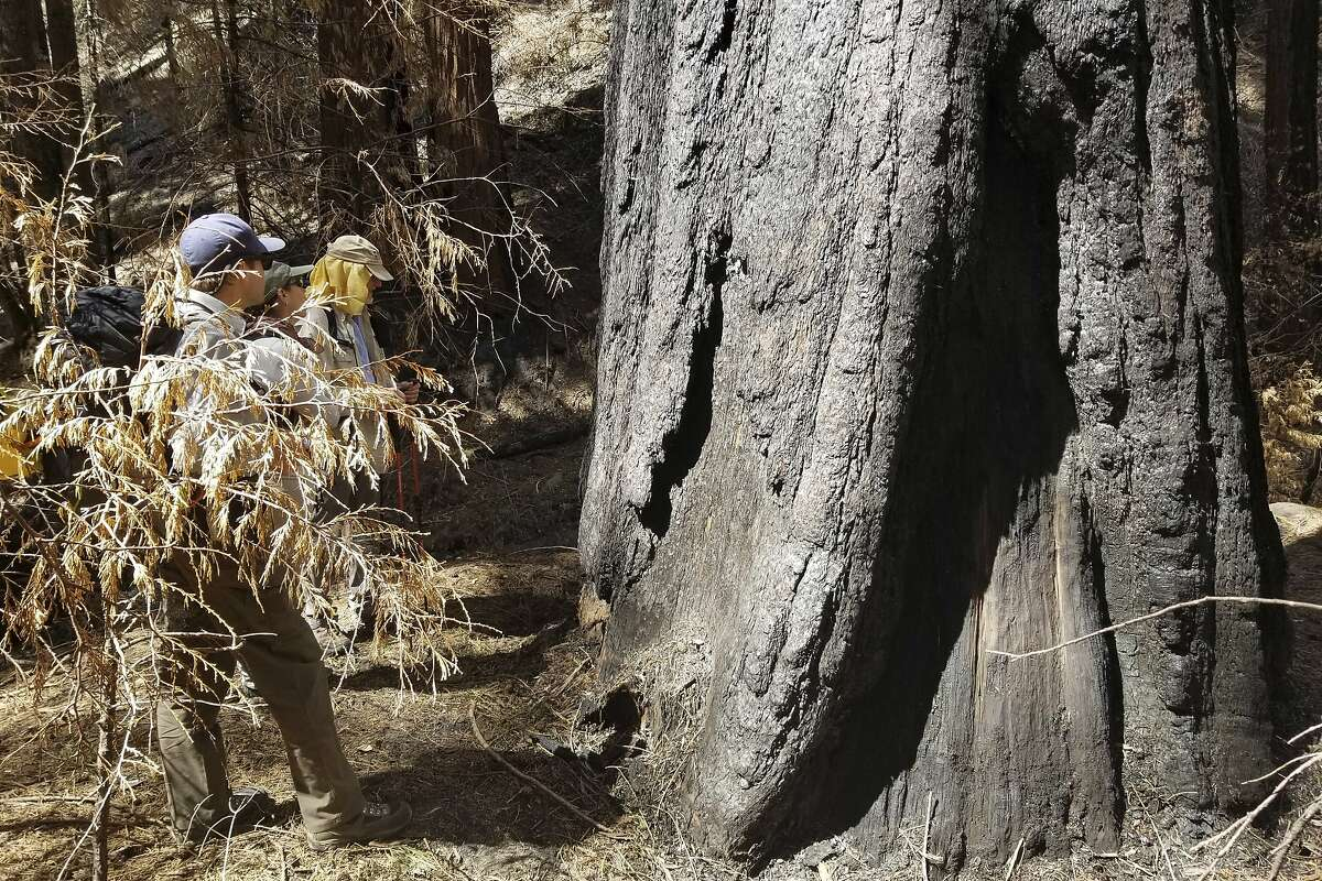 In this April 22, 2021, photo provided by Sequoia & Kings Canyon National Parks, fire scientists make measurements and assessments of a giant sequoia tree following the 2020 Castle Fire that burned within Sequoia National Park, Calif.