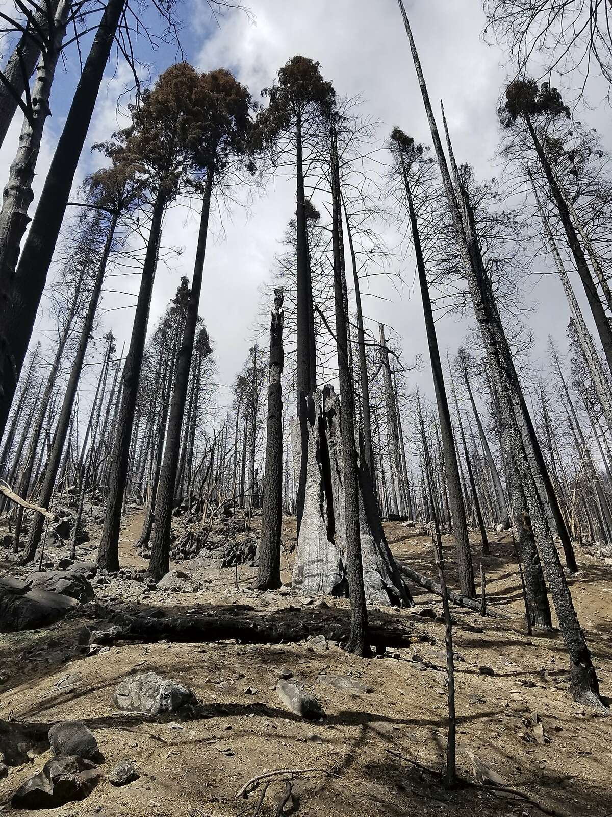 Last year's Castle Fire took a toll on sequoias in the Board Camp Grove in Sequoia National Park, as seen in April.