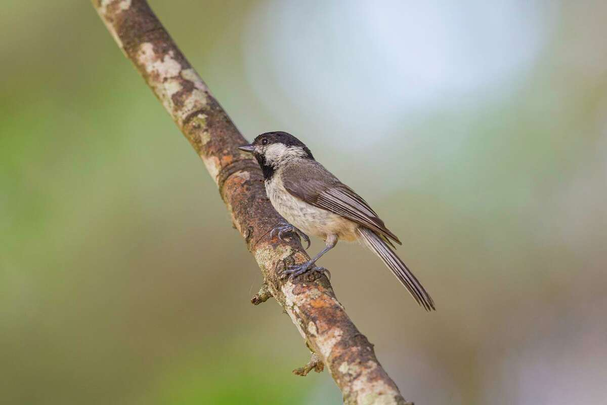 Young birds, like this Carolina chickadee, need to learn how to feed from a birdfeeder and find other food on their own. Photo Credit: Kathy Adams Clark. Restricted use.