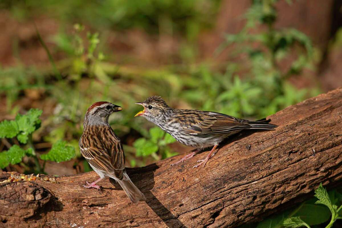 Adult birds will feed their fledglings from a nearby birdfeeder. Evenutally the young bird will learn how to feed on its own. Photo Credit: Kathy Adams Clark. Restricted Use.