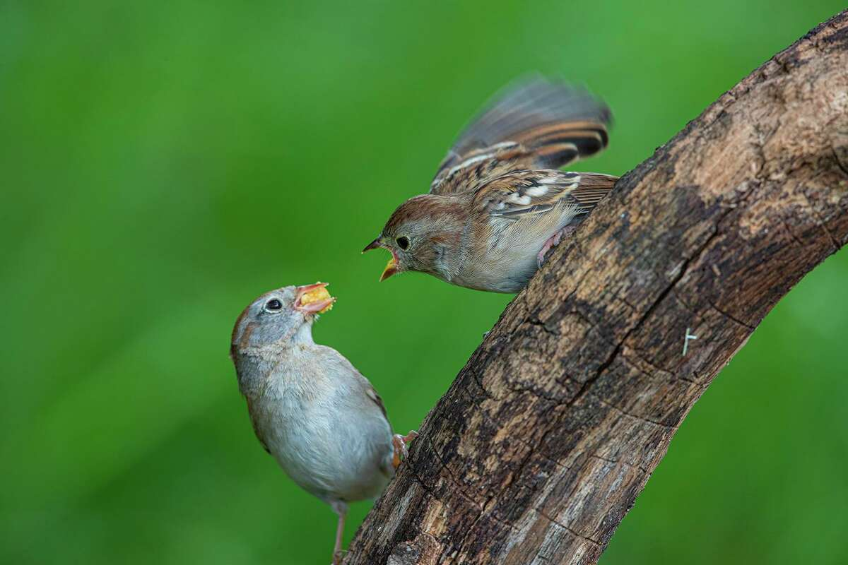 Adult birds will feed their fledglings from a nearby birdfeeder. Eventually the young bird will learn how to feed on its own. Photo Credit: Kathy Adams Clark. Restricted Use.