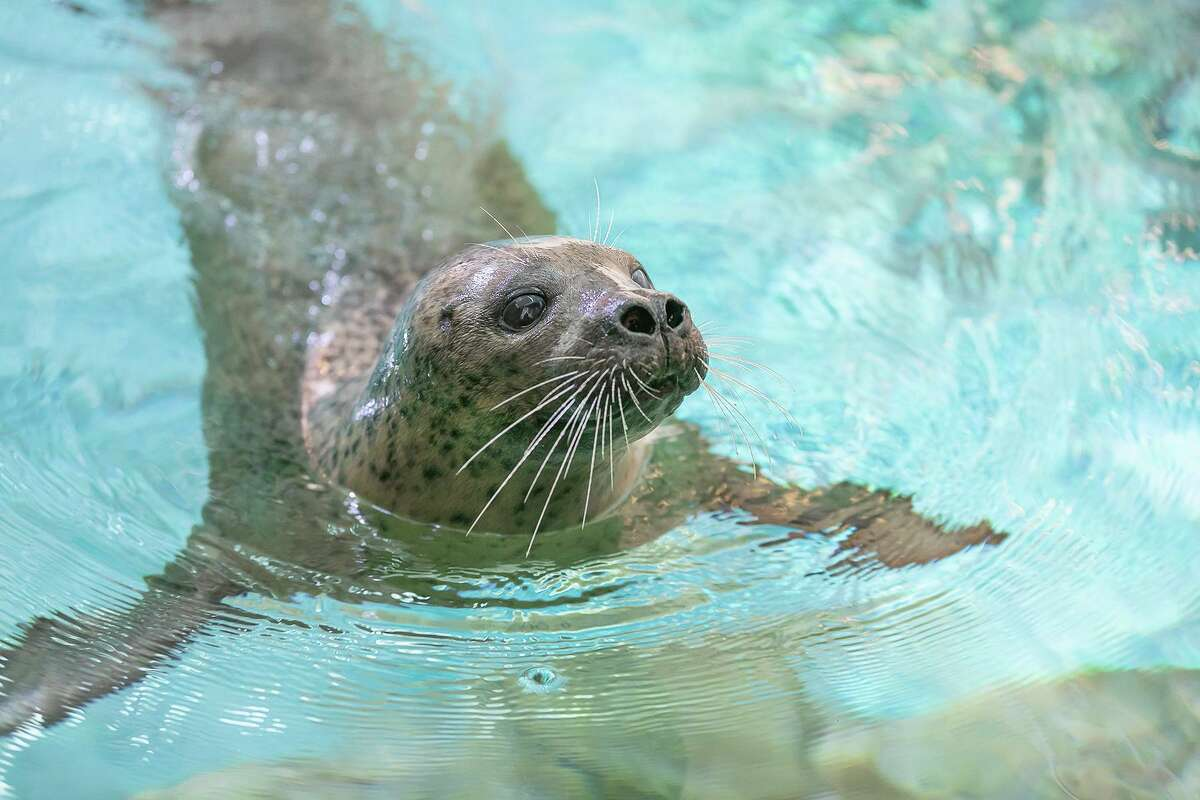 The Maritime Aquarium at Norwalk has a new seal exhibit that is more than seven times the size of the old exhibit.