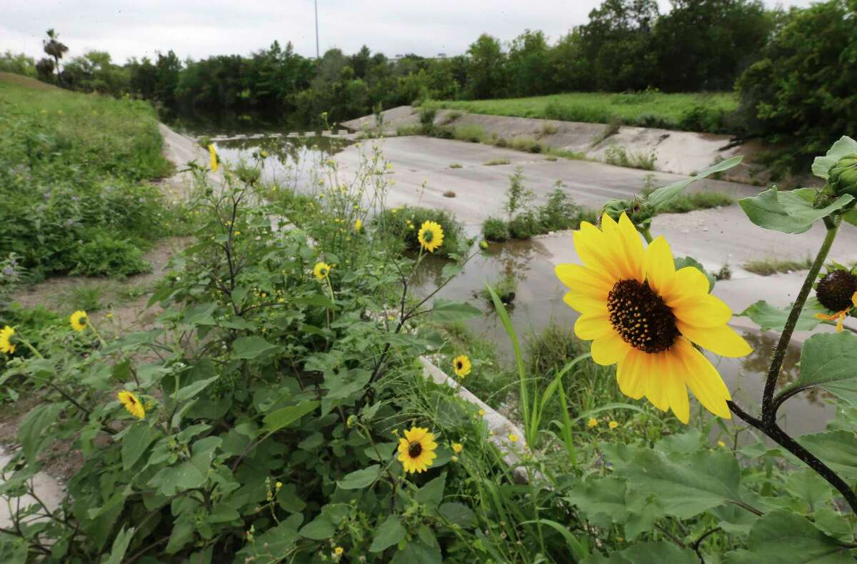 Sunflowers grow near a feeder into the Zarzamora Creek near Rosedale Park on Thursday, June 3, 2021. The San Antonio River Authority has confirmed the inclusion in President Joe Biden's budget of $2.34 million for engineering and design work on the Westside Creeks project, which envisions hike-and-bike trails and ecosystem restoration along Alazan, Apache, Martinez and Zarzamora creeks. It's long-sought progress for a project that's been in the planning for about 13 years.