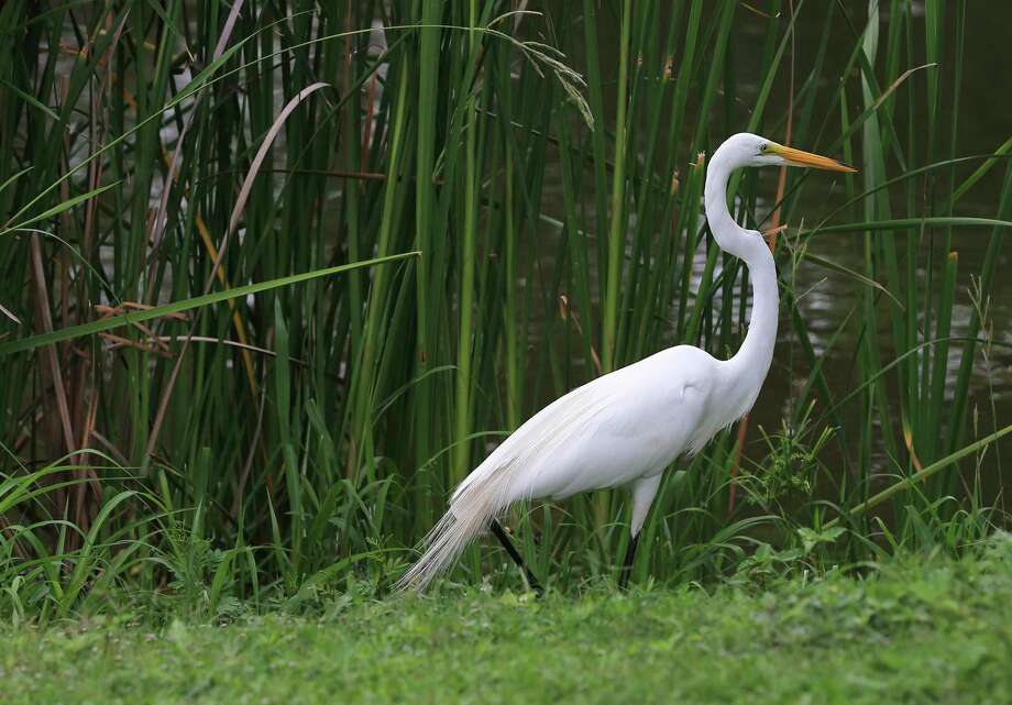 An egret walks near reeds in Elmendorf Lake Park on Thursday. President Joe Biden's proposed $6 trillion budget includes $2.34 million for work on the Westside Creeks project. A conceptual plan released in 2011 envisioned nearly $250 million in environmental restoration and trails for Alazán, Apache and Martinez creeks. Photo: Kin Man Hui / Staff Photographer / **MANDATORY CREDIT FOR PHOTOGRAPHER AND SAN ANTONIO EXPRESS-NEWS/NO SALES/MAGS OUT/ TV OUT