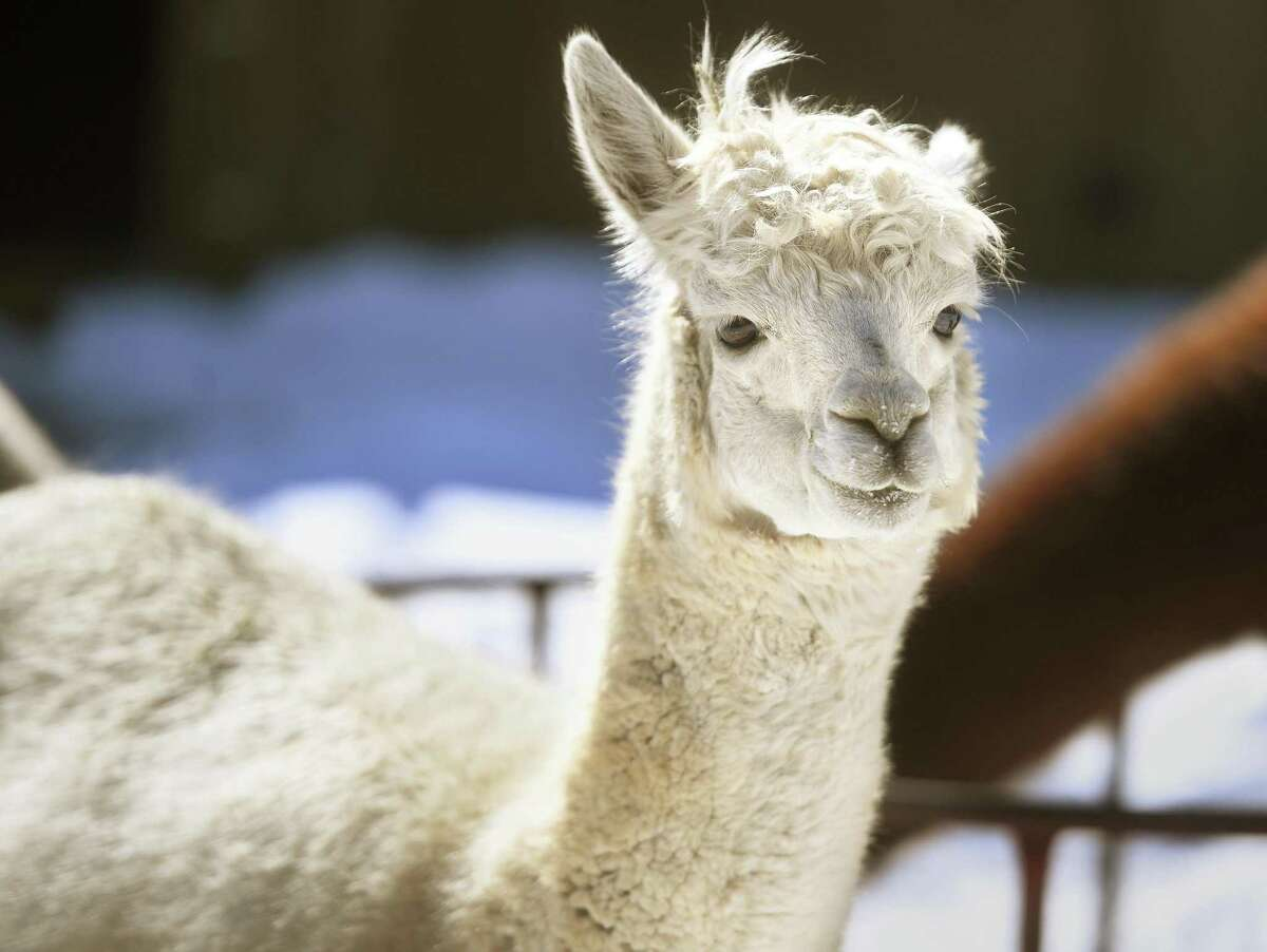 Meet the alpacas for free at Chakana Sky Alpacas in Chester on June 12.