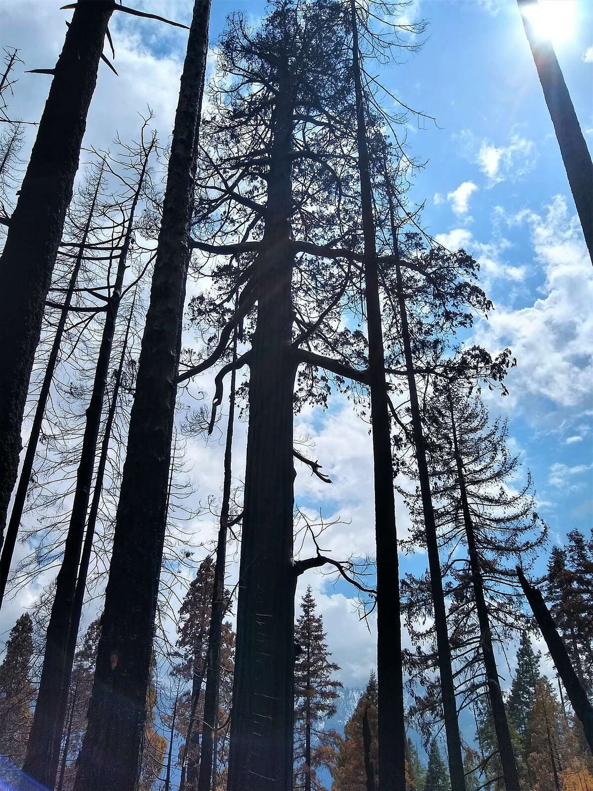 The 2020 Castle Fire ravaged the Board Camp Grove of sequoias in Sequoia National Park.