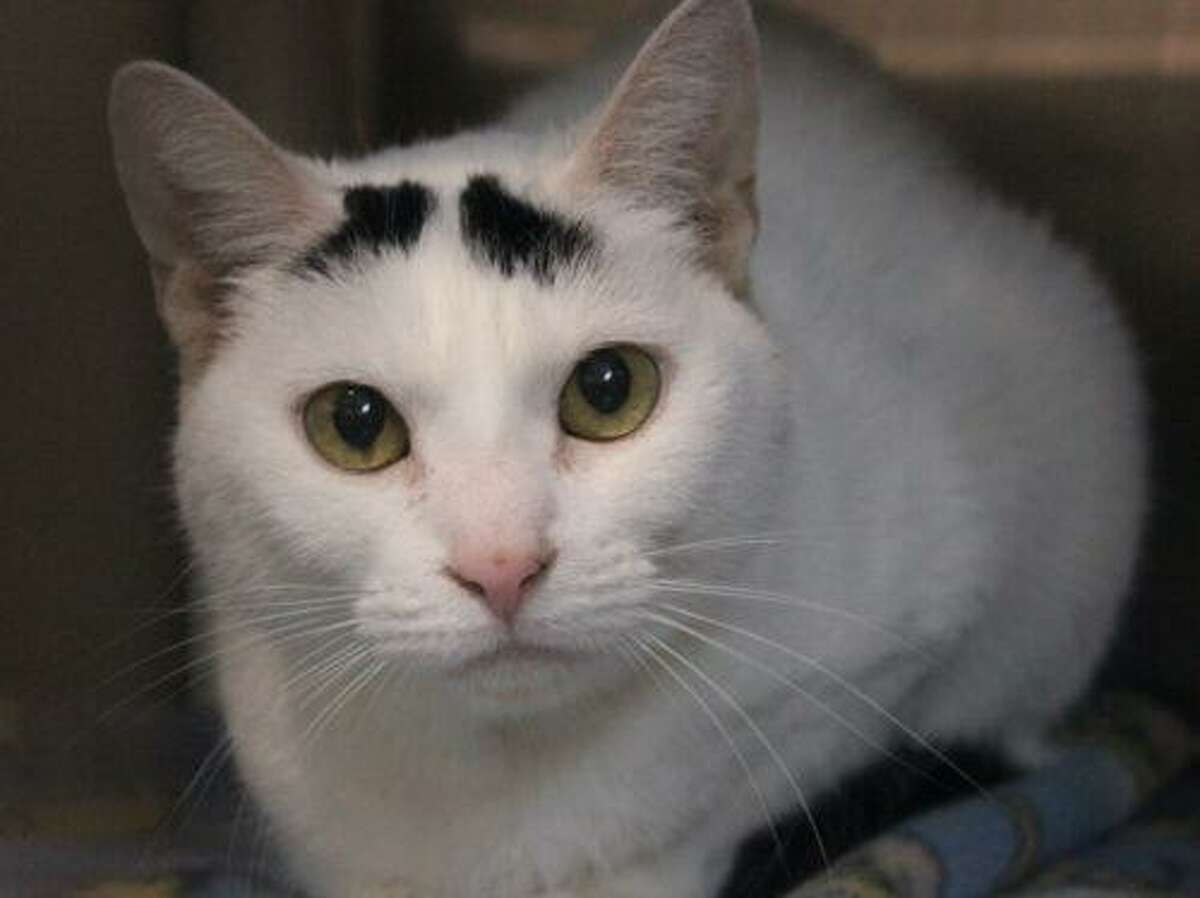 Luna, a 2-year-old female, came to us as an owner surrender because her family could no longer care for her. She is a sweet and petite girl. She lived with 2 very cat friendly dogs and one friendly cat so she would be fine in a home with this. She is a bit shy when she first meets you. She loves to be petted and loves attention. She would prefer a quiet home with someone who will give her as much time as she needs to adjust. She is very confused as to why she is in the shelter. Please give this sweet girl a forever home! To adopt Luna, go to www.CatTalesCT.org/cats/Luna-2, call 860-344-9043,or email info@CatTalesCT.org. Watch our TV commercial: https://youtu.be/Y1MECIS4mIc
