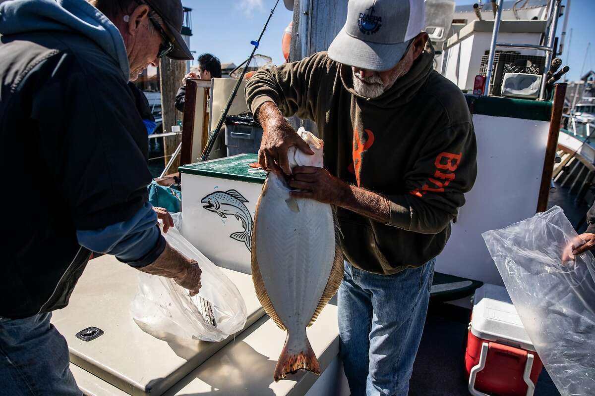 John Malstrom, of Twain Harte (Tuolumne County) retrieves a halibut caught in San Francisco Bay from a bag aboard the Lovely Martha in San Francisco.