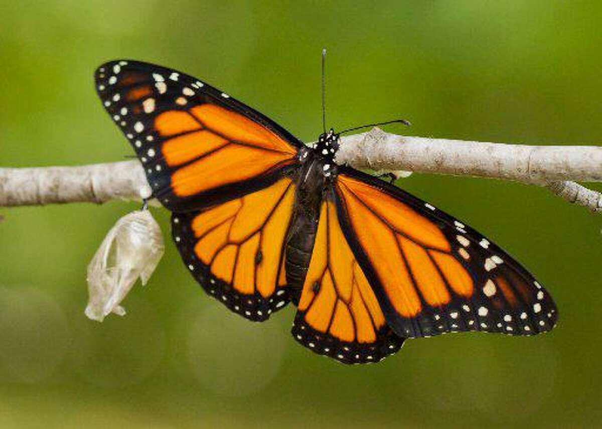 With monarch numbers in decline, researchers, citizen scientists and federal agencies are working to protect habitat to save the species.