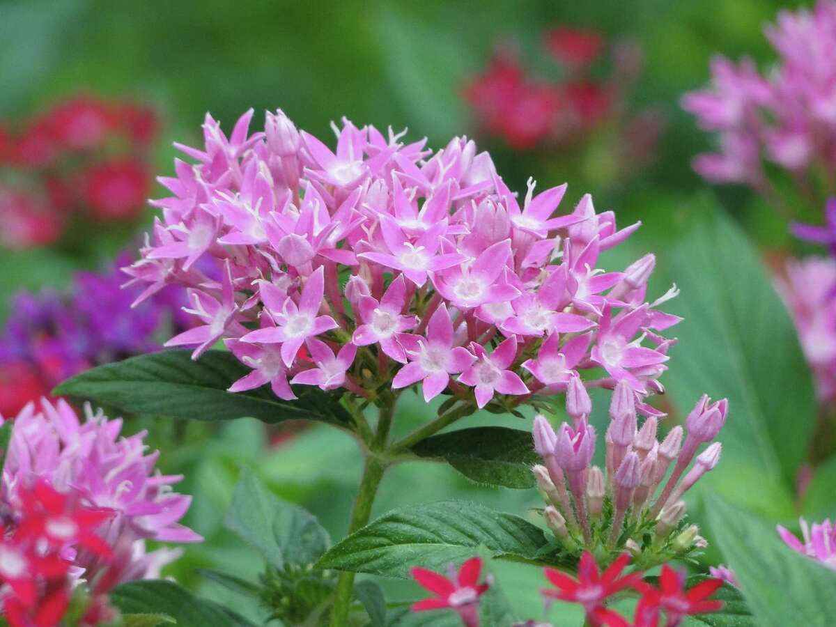 Pentas, which act like magnets for bees, butterflies and hummingbirds, bloom through the summer.