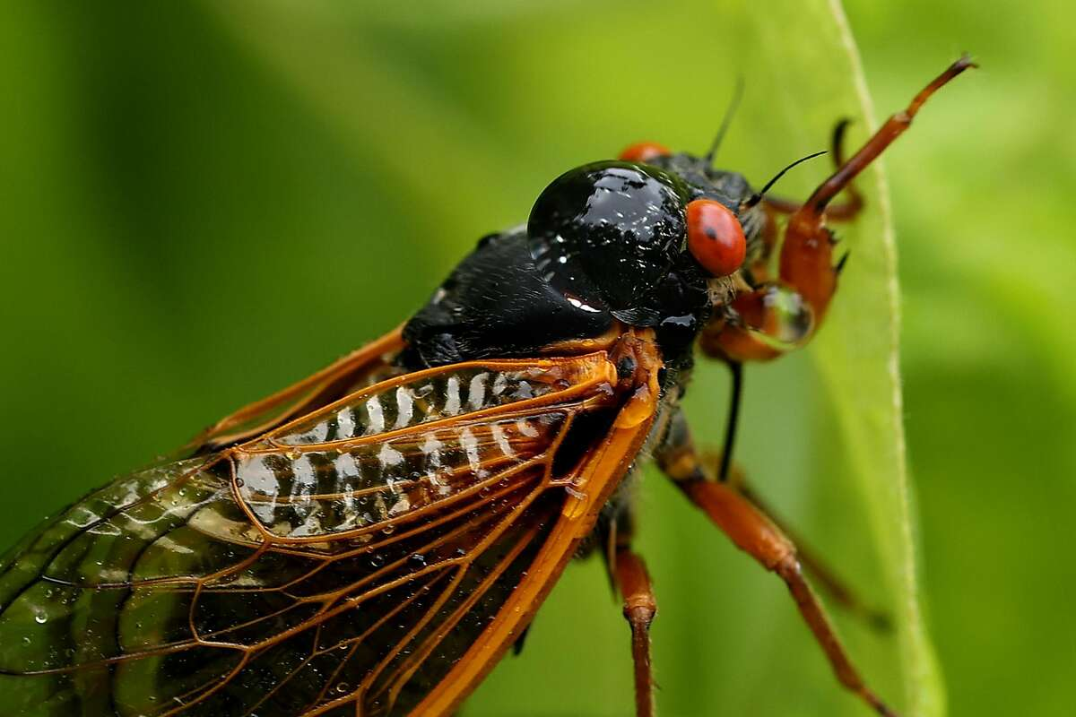 COLUMBIA, MD - JUNE 03: A drop of water lands on the back of a periodical cicada, a member of Brood X, on June 03, 2021 in Columbia, Maryland. Billions of Magicicada periodical cicadas are emerging from the soil in the eastern United States and Midwest to molt, mate, lay eggs and die after living underground for 17 years. (Photo by Chip Somodevilla/Getty Images)