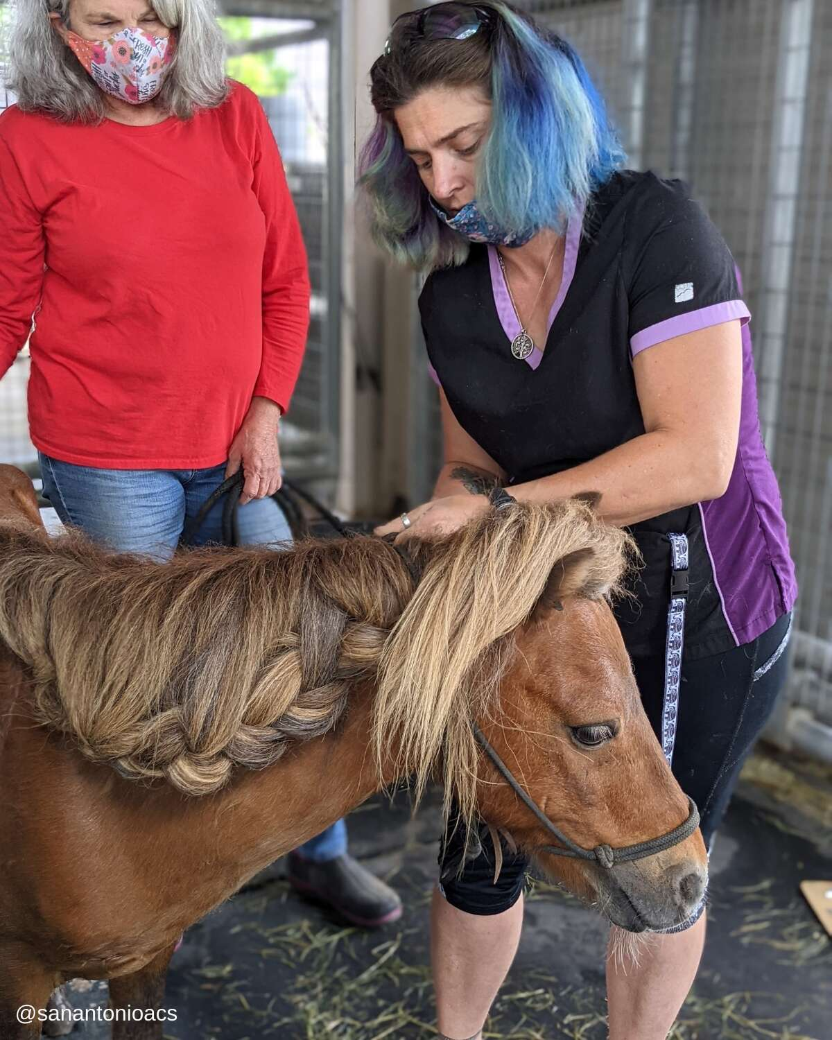 """The Animal Care Services recently rescued a pony that looks like the precious Li'l Sebastian from the iconic television series """"Parks and Recreation."""""""