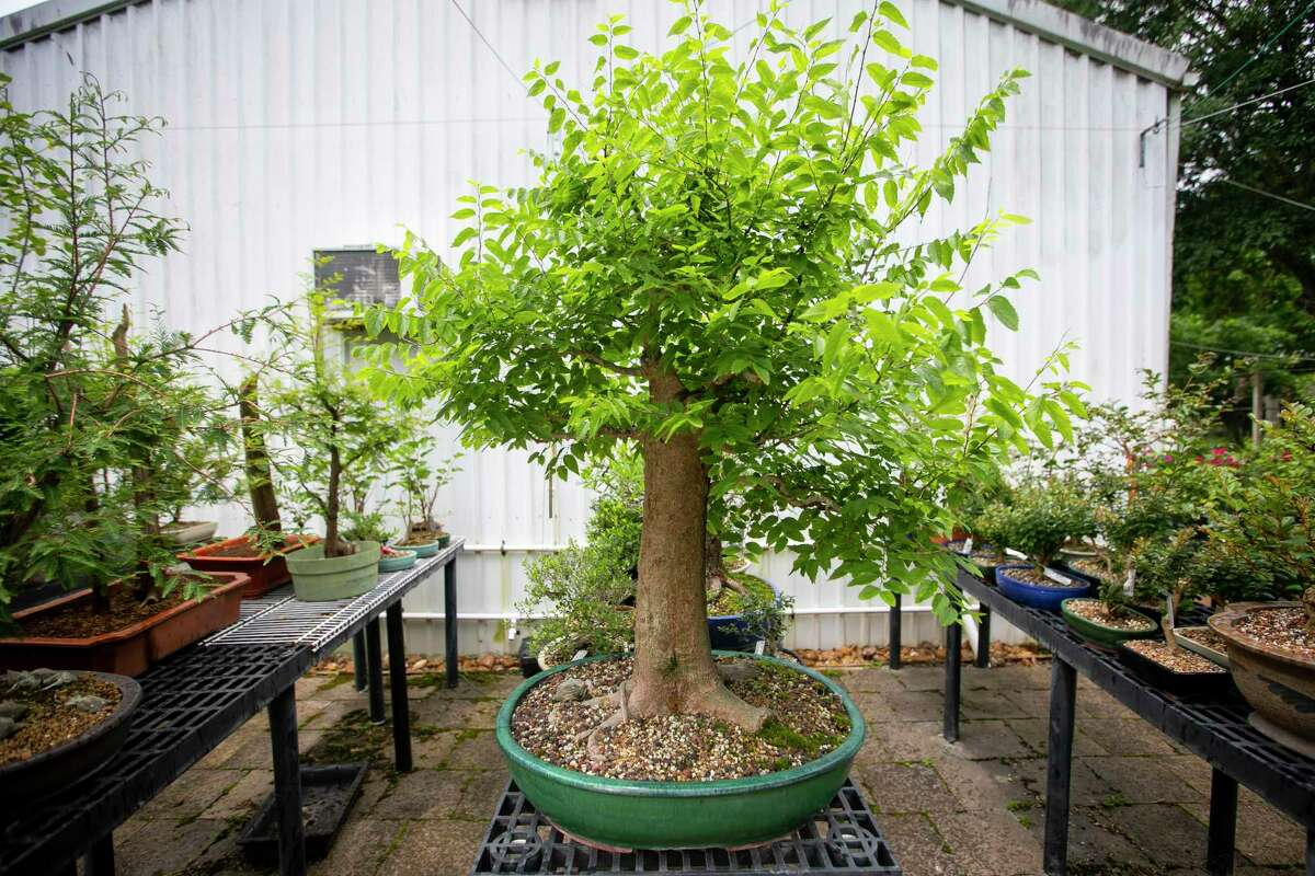 A bonsai hackberry tree at Timeless Trees Bonsai Nursery in Rosenberg, TX, on Friday, May 28, 2021.