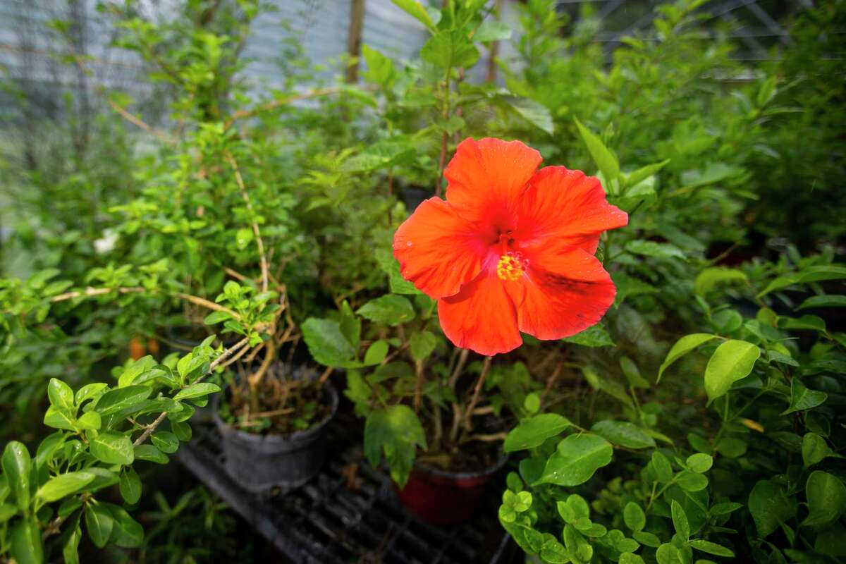 A hibiscus bloom stands out against a shelf of bonsai plants at Timeless Trees Bonsai Nursery in Rosenberg, TX, on Friday, May 28, 2021.