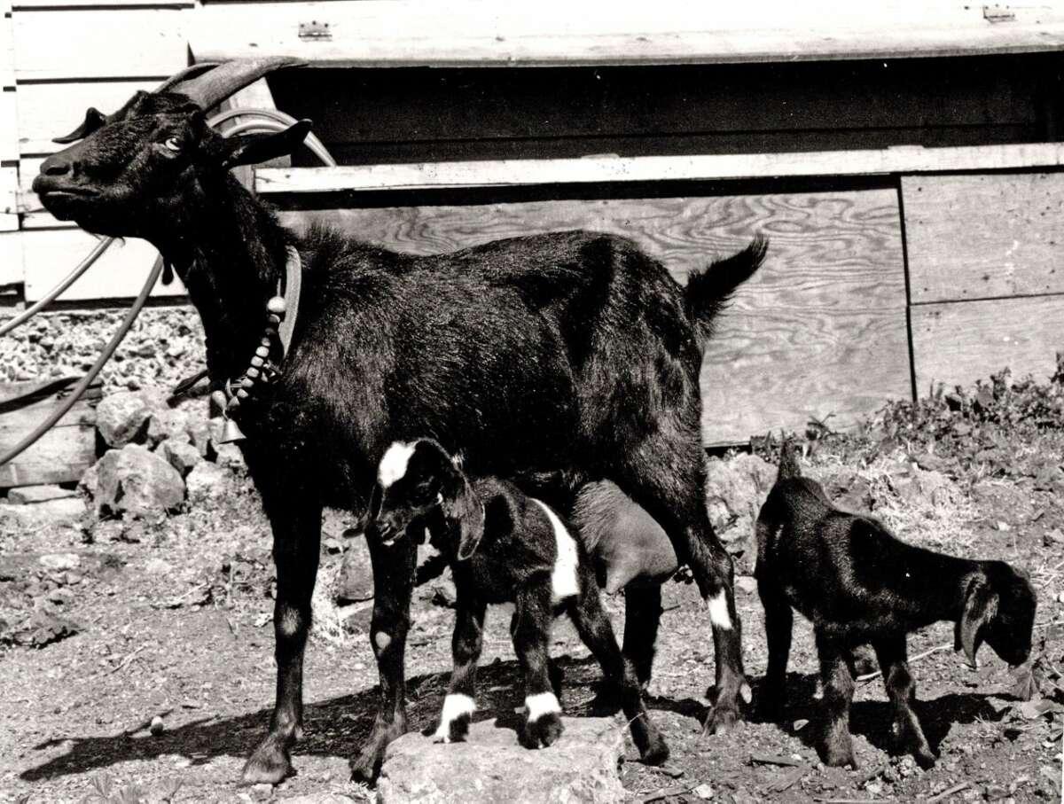 Goat Hilda and her kids Bucky and Loretta.