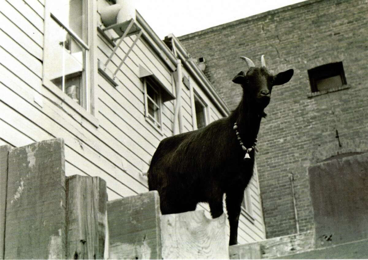 Goat Hilda de Anchovy of Goat Hill Pizza fame, photographed by the Potrero View in 1979.