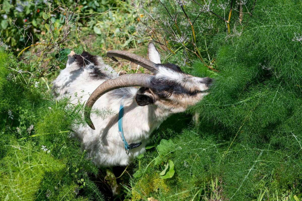 Goats from City Grazing munch on the grassy outskirts of the Potrero Hill Community Garden in May 2021.