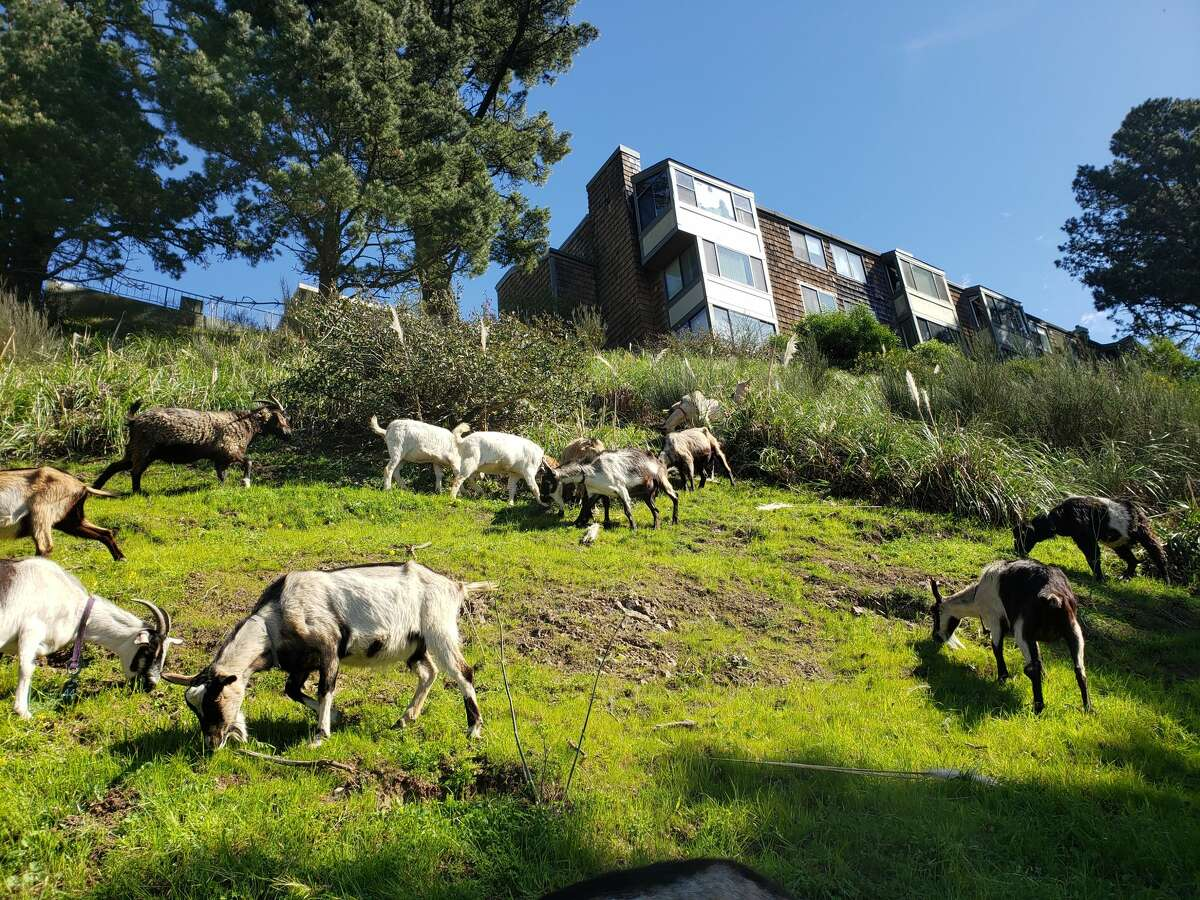 Goats from City Grazing at roam the grassy slope of Gold Mine Hill in 2021.