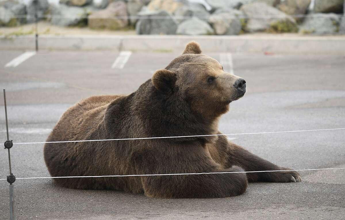 Tag, a Kodiak bear, is making appearances alongside gubernatorial candidate John Cox.