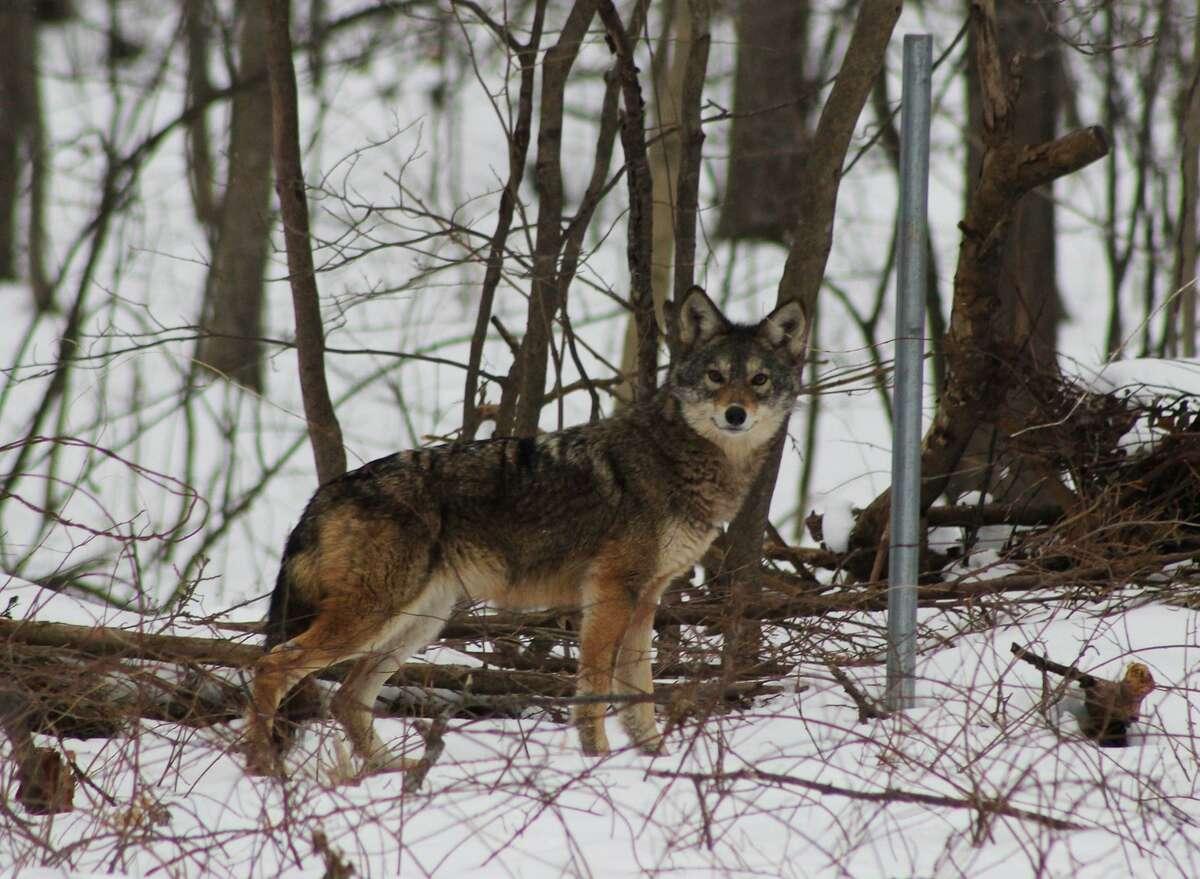 A coyote in a Colonie backyard.