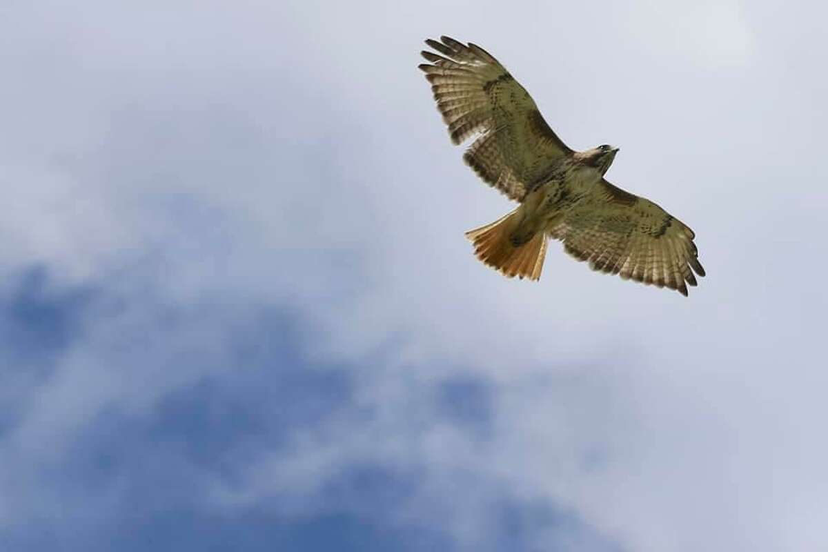 A red-tailed hawk found in Newtown with an arrow piercing its body gets its first taste of freedom over the skies of Newtown after a 34-day rehabilitation at Weston-based Christine's Critters.