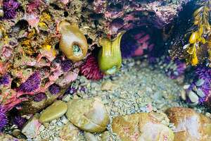 These urchins and anemones are almost always beneath the sea, but a rare negative tide left them out of water on a Friday in late May 2021.
