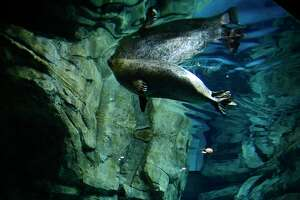 Visitors to the Maritime Aquarium watch the seals frolic in their new enclosure Tuesday, June 8, 2021, in Norwalk, Conn.