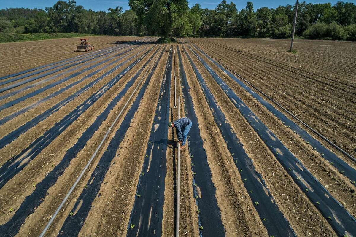 Gabriel Castañeda moves irrigation pipes to water the crops covered in plastic to reduce water evaporation on his family farm outside Santa Rosa. The Castañedas have cut back the acreage they are planting because of the drought.