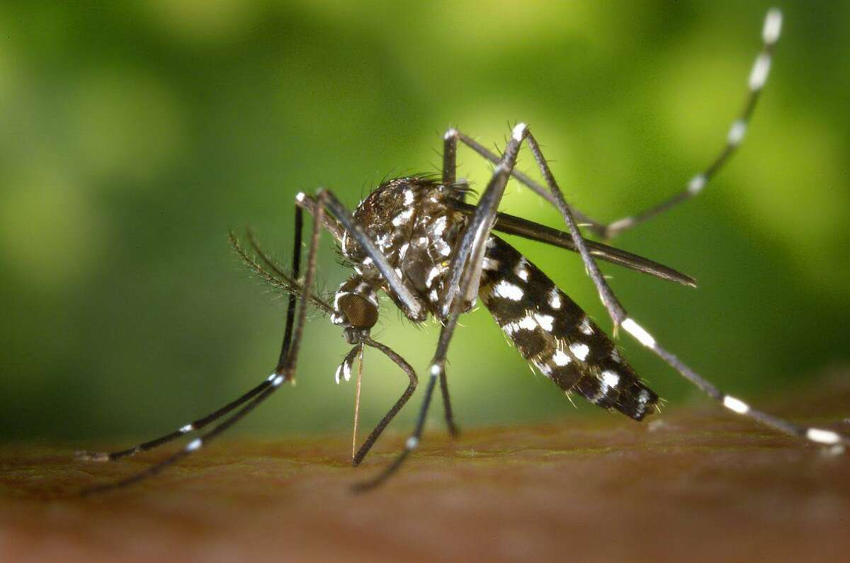 Shown here is an adult female Aedes albopictus mosquito before a blood meal.