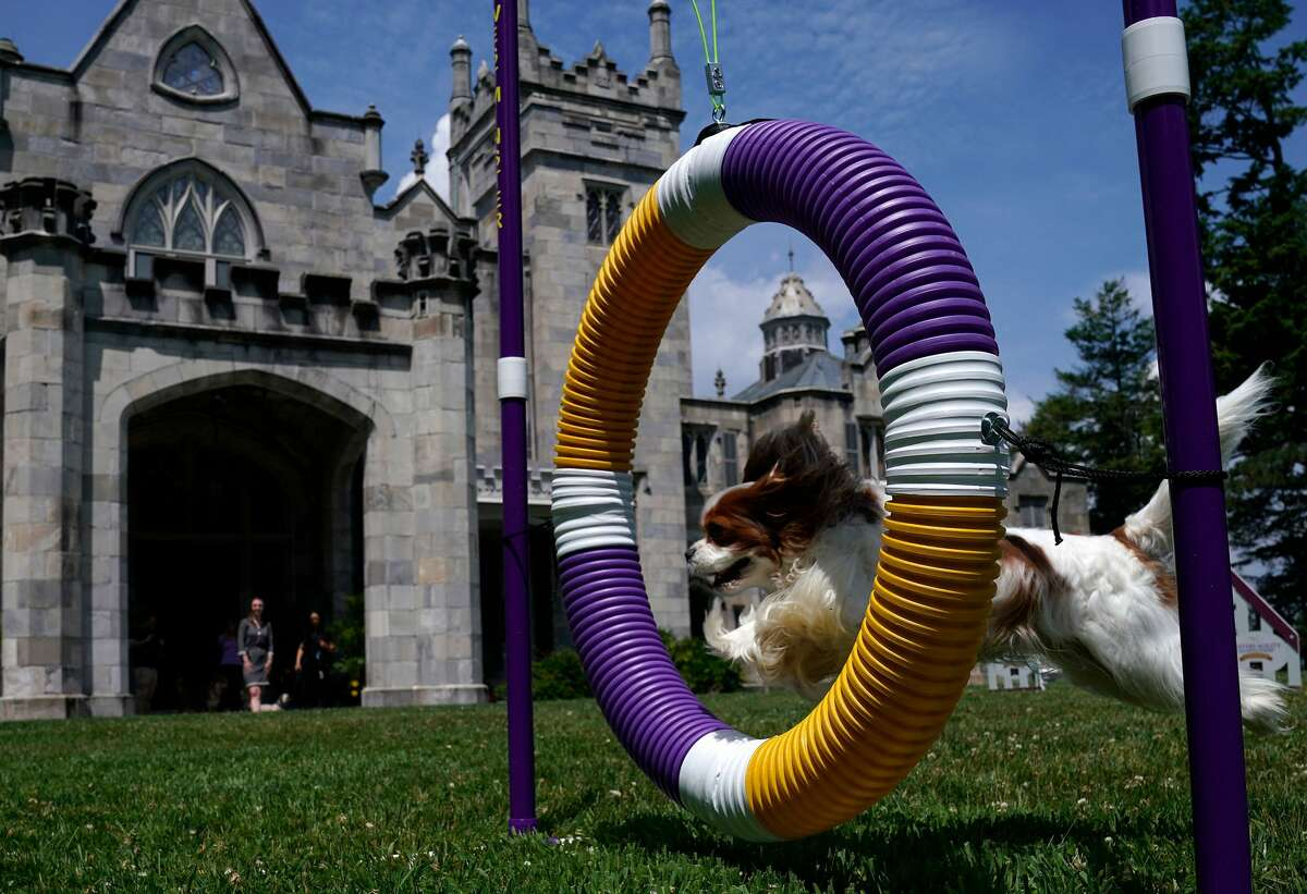 For the first time ever, the Westminster Kennel Club will hold its annual Westminster Kennel Club Dog Show outside of New York City this year. Instead it will take place outdoors at the Lyndhurst Estate in Tarrytown, June 11-13, 2021.